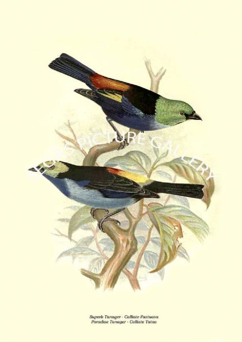 Fine art print of the Superb Tanager - Calliste Fastuosa, Paradise Tanager - Calliste Tatao by the Artist Frederick William Frohawk (1899)